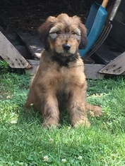 Briard Puppy For Sale in GARDNERS, PA, USA
