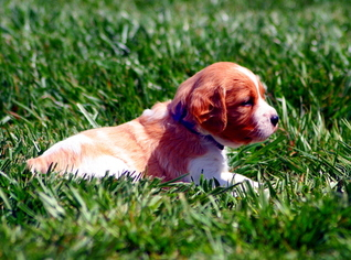 Brittany Puppy For Sale in CHRISTIANSBURG, VA