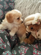 Maltese-Poodle (Toy) Mix Puppy for sale in NEWBURY PARK, CA, USA