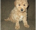 Small #5 Labradoodle