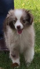 Miniature Australian Shepherd Puppy For Sale in FOUNTAIN, CO, USA