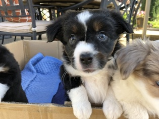 Miniature Australian Shepherd Puppy For Sale in ROSEVILLE, CA, USA