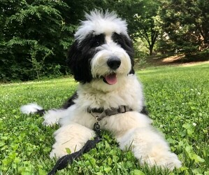 Sheepadoodle Puppy for sale in CROFTON, MD, USA
