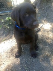 Labrador Retriever Puppy For Sale in OLALLA, WA, USA