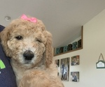 Small #1 Goldendoodle Mix