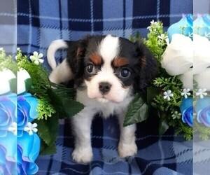 Cavalier King Charles Spaniel Puppy for sale in CALLAO, VA, USA