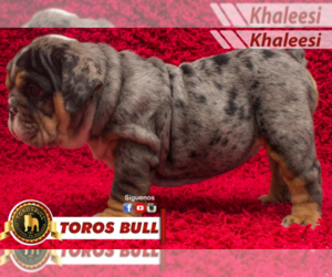 Bulldog Puppy for Sale in HOUSTON, Texas USA