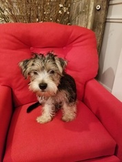 Schnauzer (Standard)-Yorkshire Terrier Mix Puppy for sale in KINGSPORT, TN, USA