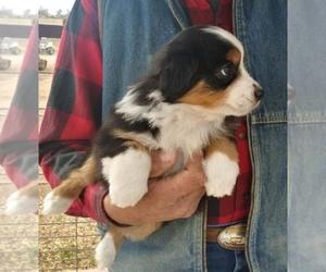 Miniature Australian Shepherd Puppy for Sale in BELEN, New Mexico USA