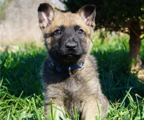 Medium Photo #1 Belgian Malinois Puppy For Sale in WEST PLAINS, MO, USA
