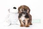 Cody Male Shorkie Puppy