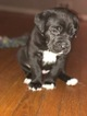 Cane Corso Puppy For Sale in MOUNT HOLLY, NJ, USA