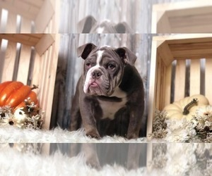 English Bulldog Puppy for sale in CHECOTAH, OK, USA