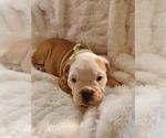 Small #24 English Bulldog