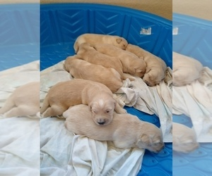 Golden Retriever Puppy for Sale in COPPERAS COVE, Texas USA