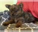 Small Photo #13 Pomeranian Puppy For Sale in KEAAU, HI, USA