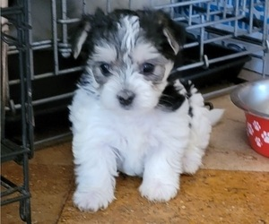 Morkie Puppy for sale in CLACKAMAS, OR, USA