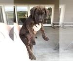 Puppy 2 Mastador