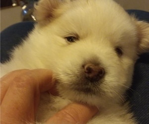 Pomsky Puppy for sale in BARNSTEAD, NH, USA