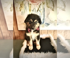 Australian Shepherd Puppy for sale in VAN, TX, USA