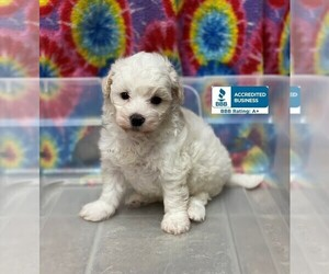 Maltese-Poodle (Toy) Mix Puppy for sale in WINNSBORO, LA, USA