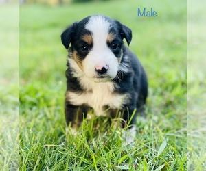 Miniature Australian Shepherd Puppy for Sale in OPELIKA, Alabama USA