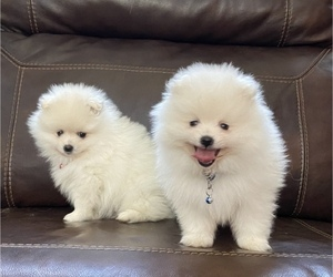 Pomeranian Puppy for Sale in ANTELOPE, California USA