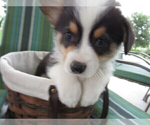 Pembroke Welsh Corgi Puppy for Sale in HUDSON, Michigan USA
