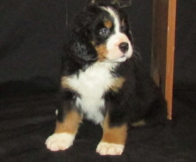 View Ad Bernese Mountain Dog Puppy For Sale Near Indiana Francisco