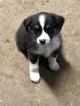 Australian Shepherd Puppy For Sale in ANTLERS PARK, MN, USA