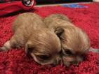 Morkie puppies 3 left