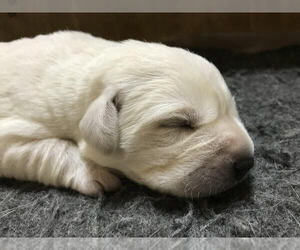 Labrador Retriever Puppy for Sale in ROCKWOOD, Tennessee USA
