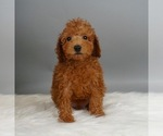 Puppy 9 Poodle (Miniature)