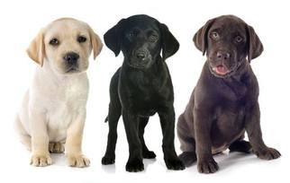 Labrador Retriever Puppy For Sale in WINCHESTER, CA, USA