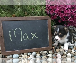 Pembroke Welsh Corgi Dog for Adoption in ARCOLA, Illinois USA