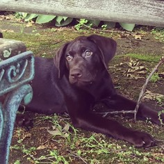 Labrador Retriever Puppy For Sale in FANWOOD, NJ, USA