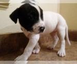 Small #4 America Bandogge Mastiff