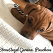 German Pinscher Puppy For Sale in NORTH YARMOUTH, ME, USA