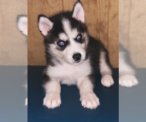 Siberian Husky Puppy for sale in LILY, KY, USA