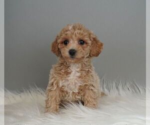 Maltipoo-Poodle (Toy) Mix Puppy for Sale in WARSAW, Indiana USA