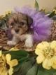 Shorkie Tzu Puppy For Sale in FARMINGTON, MO, USA