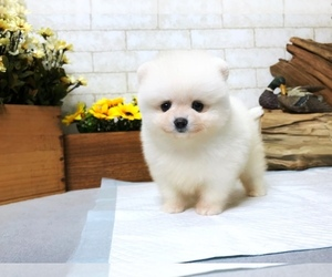 Pomeranian Puppy for Sale in SAN FRANCISCO, California USA