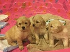 Golden Retriever Puppy For Sale in WINCHESTER, VA