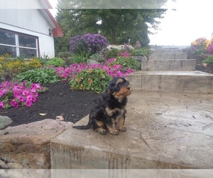 Cavapoo Puppy for Sale in MILLERSBURG, Pennsylvania USA