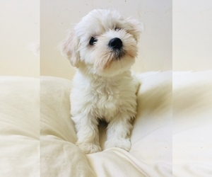 Coton de Tulear Dog for Adoption in COOKEVILLE, Tennessee USA