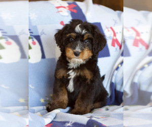 Bernedoodle Puppy for sale in MILWAUKEE, WI, USA
