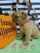 Dogue De Bordeaux puppies born October 4th