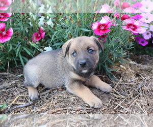 Norwegian Elkhound-Unknown Mix Puppy for sale in SHILOH, OH, USA