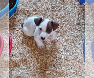 Jack Russell Terrier Puppy for sale in SPOTSYLVANIA, VA, USA