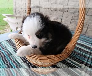 Australian Shepherd Puppy for sale in MUNCIE, IN, USA